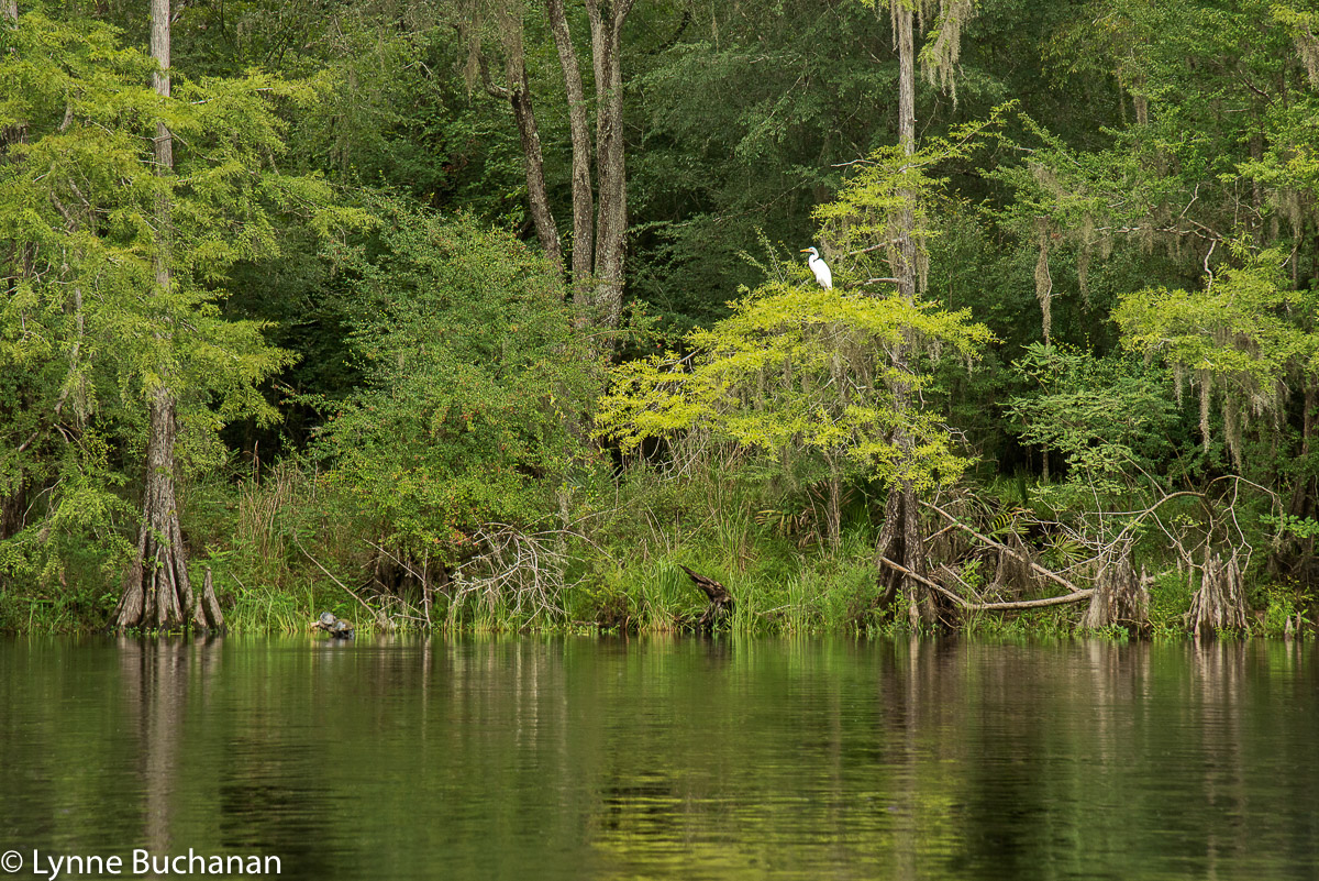 White Egret and Turtle on the Banks of the Santa Fe