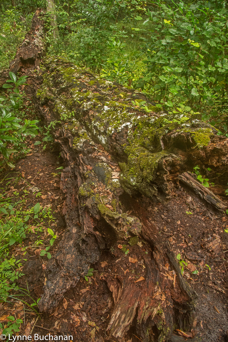 Fallen Tree Decomposing