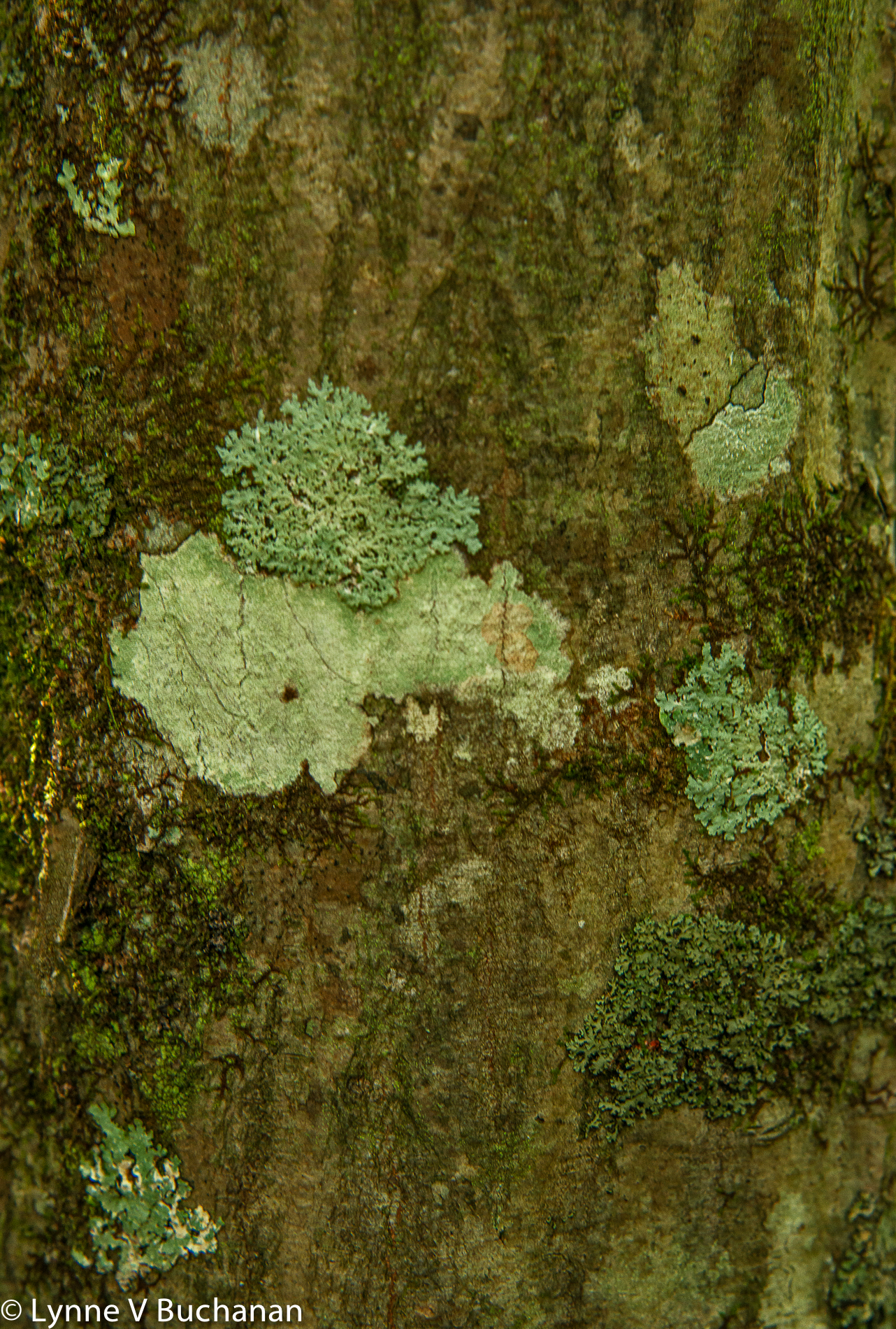 Muscle Tree with Lichen and Algae