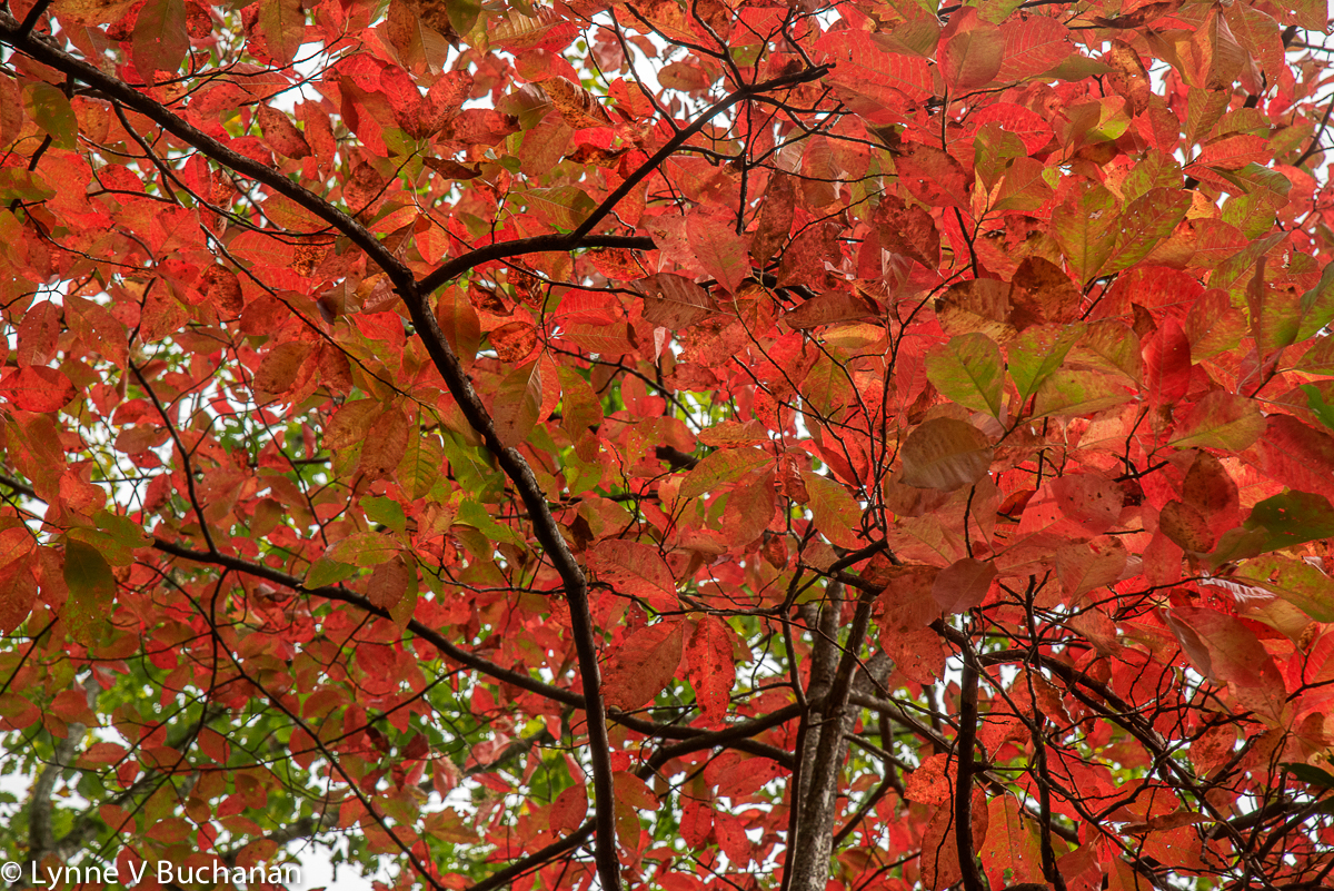 Red Canopy