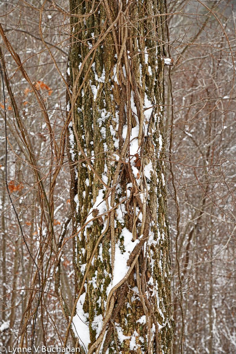 Snow Filling Bark Crevices0095.jpg