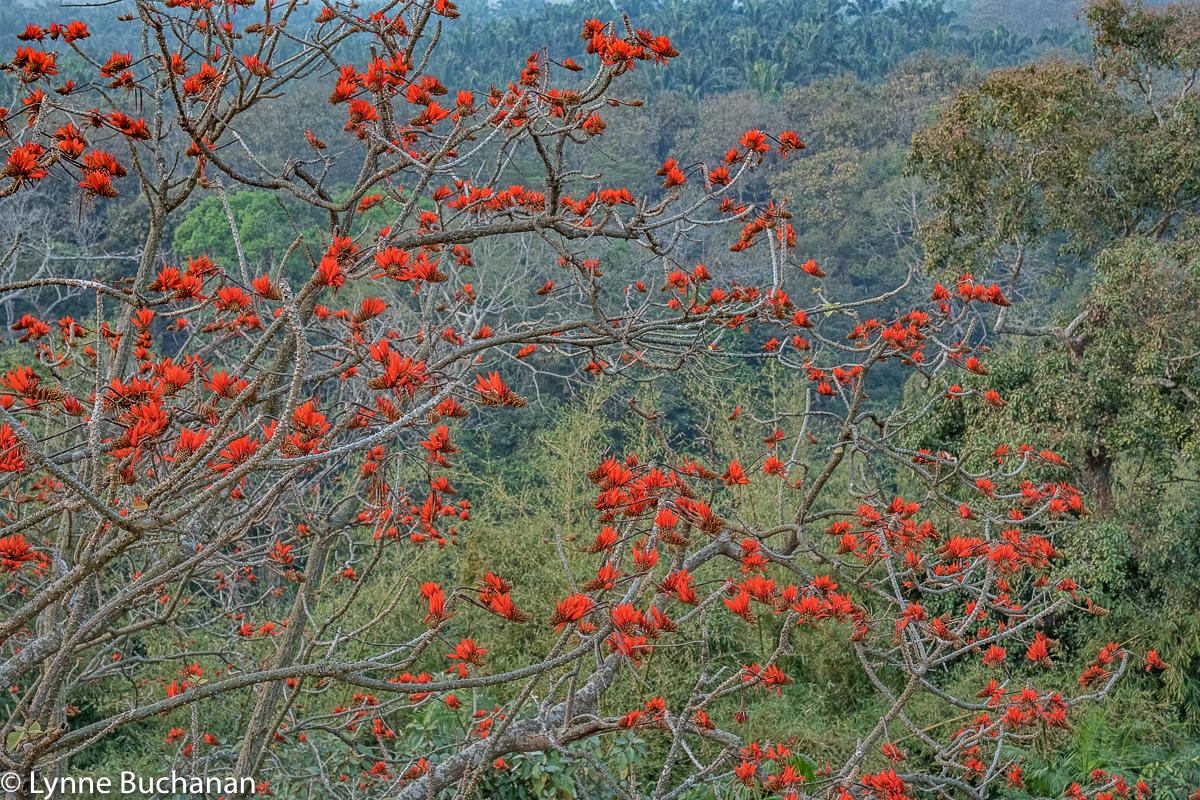 Red Silk Cotton Flower Tree, Satchori Forest, Habiganj, Bangladesh