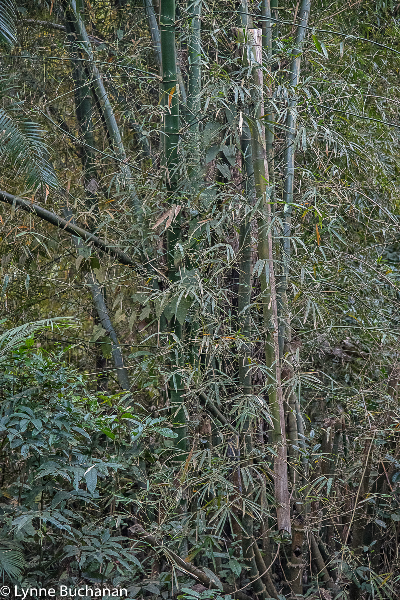 Satchori Forest Bamboo