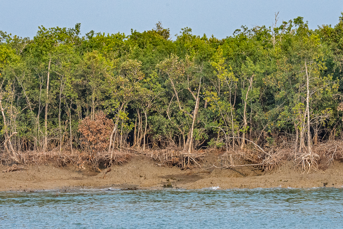 A Line of Dead Trees from Sea Level Rise, the Sundarbans