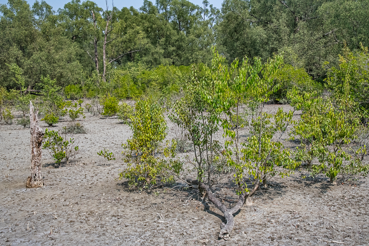Dying Trees and Parched Earth, The Unesco World Heritage Site in the Sundarbans