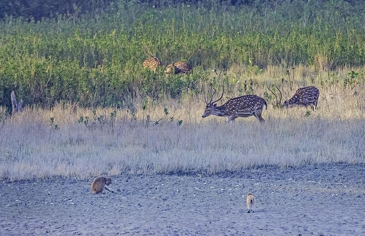Sundarbans Deer and Monkeys on the Beach6902.jpg