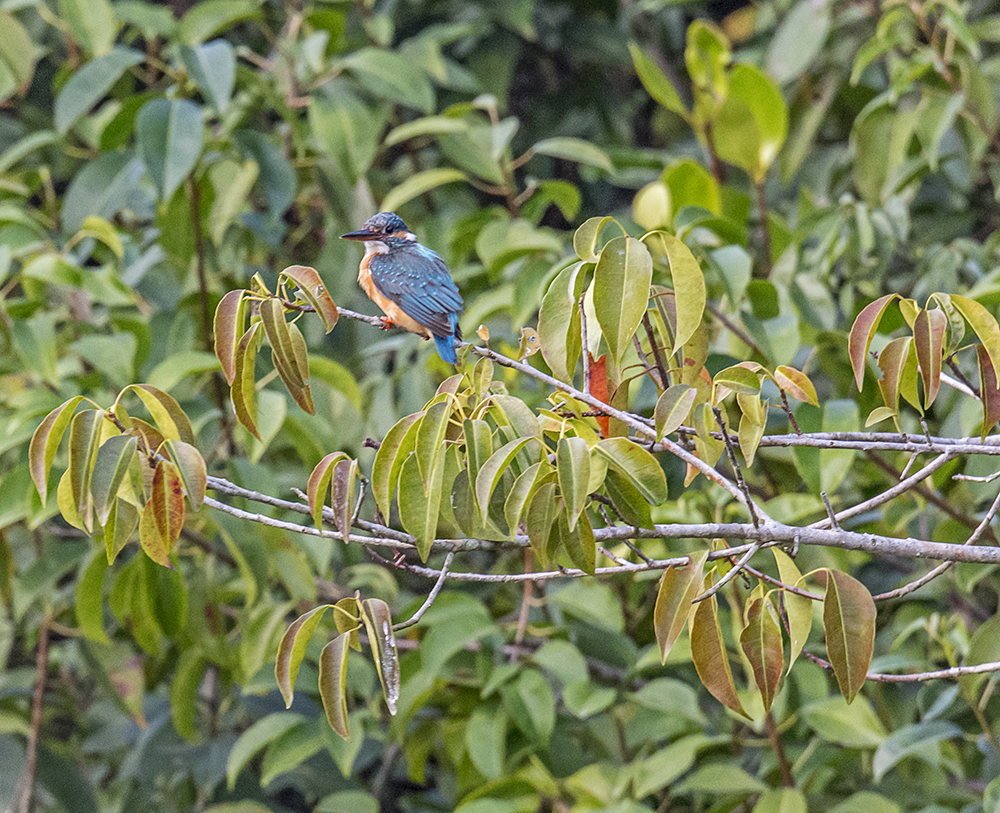 Sundarbans Rufus Orange Tree Kingfisher6932.jpg