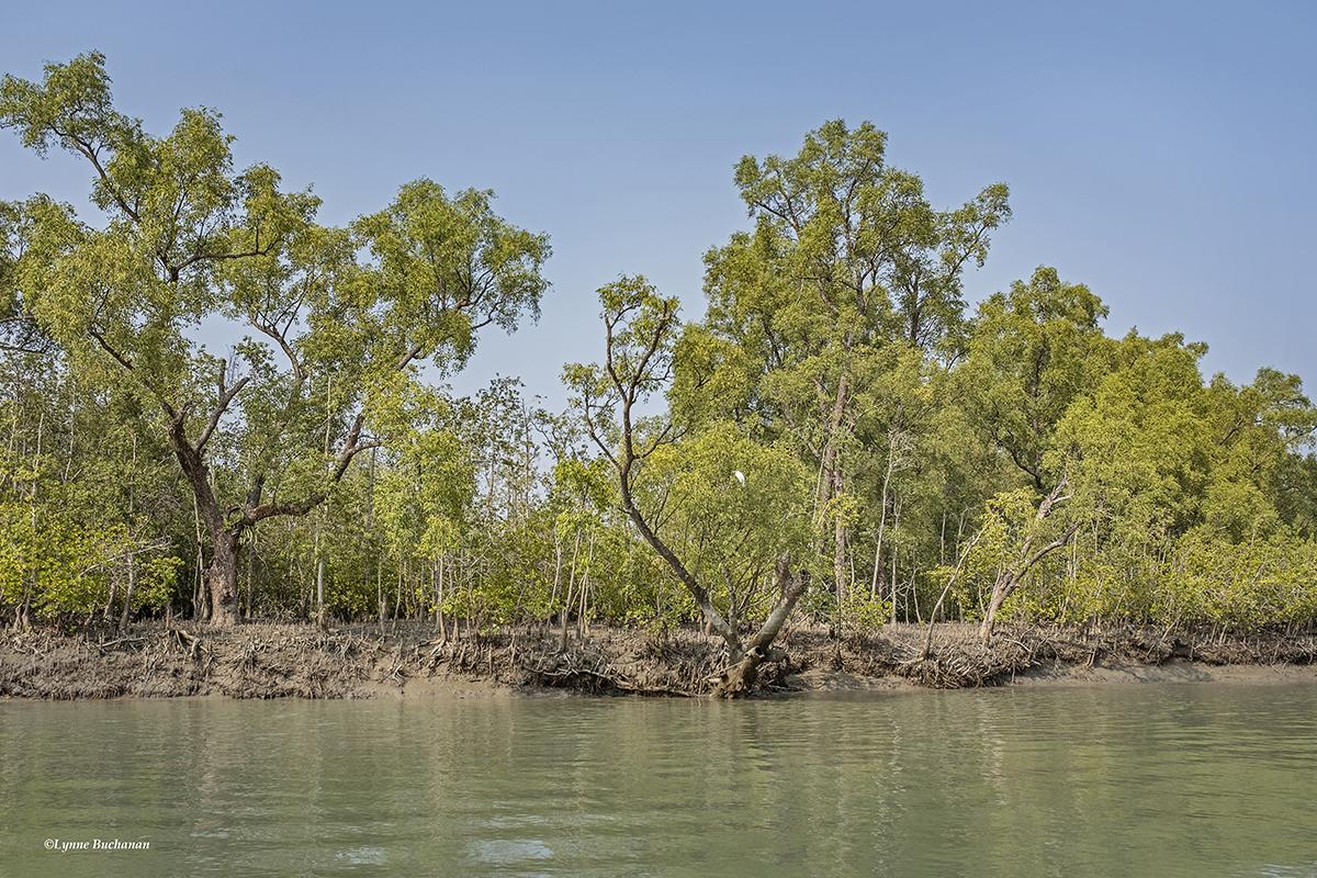 Sundarbans Heritiera Fomes on Red List of Threatened Species