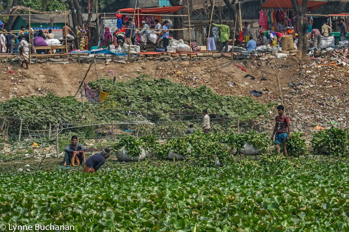 Harvesting Water Hyacinths
