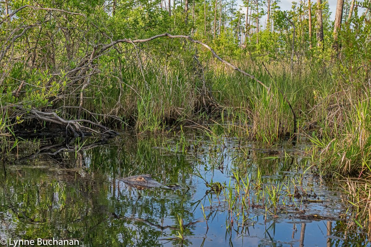 Okefenokee Alligator in Situ