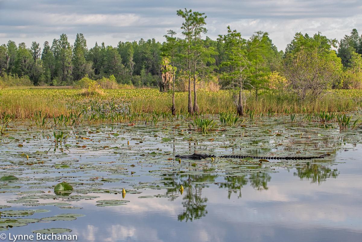 Okefenokee Alligator Cruising the Grand Prairie