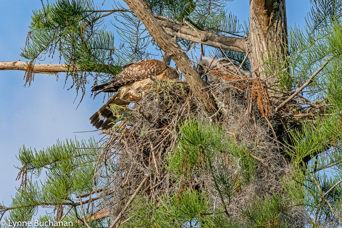 Hawk Mother Feeding the Fledglings