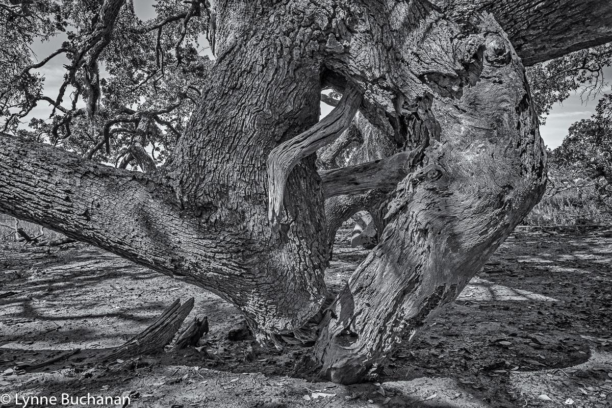 Cumberland Island Fallen Oak