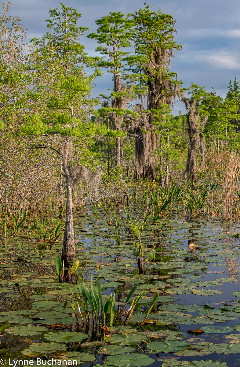 Stages of Cypress Trees in the Okefenokee Swamp
