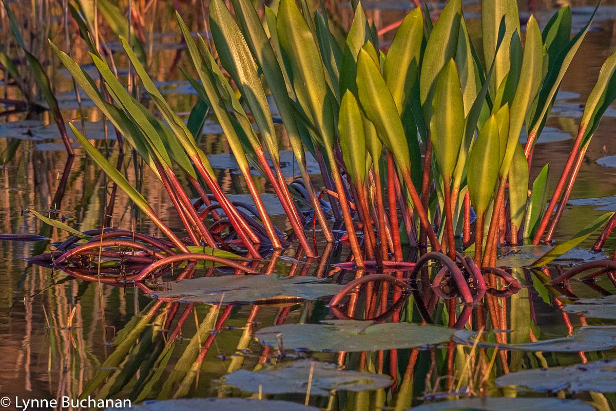 Okefenokee Never Wet Plants in the Golden Hour