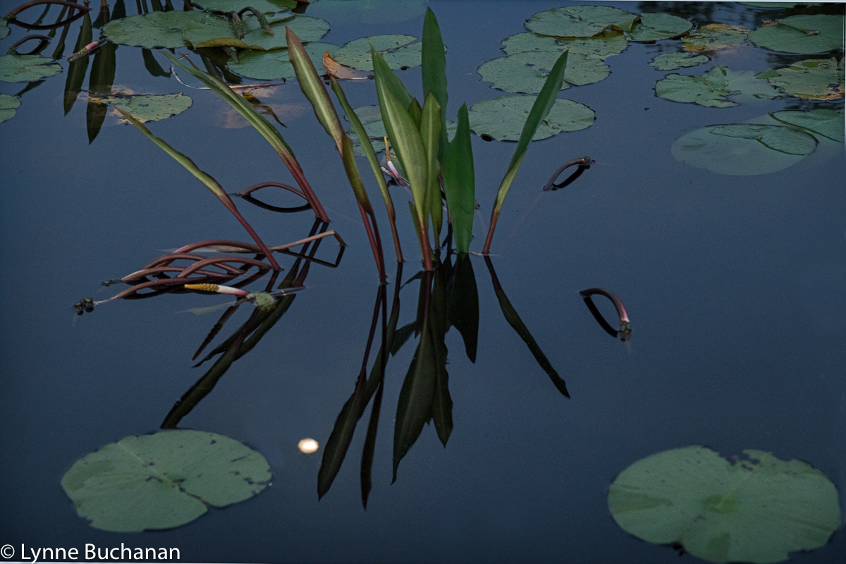 Full Moon with Never Wet and Lily Pads