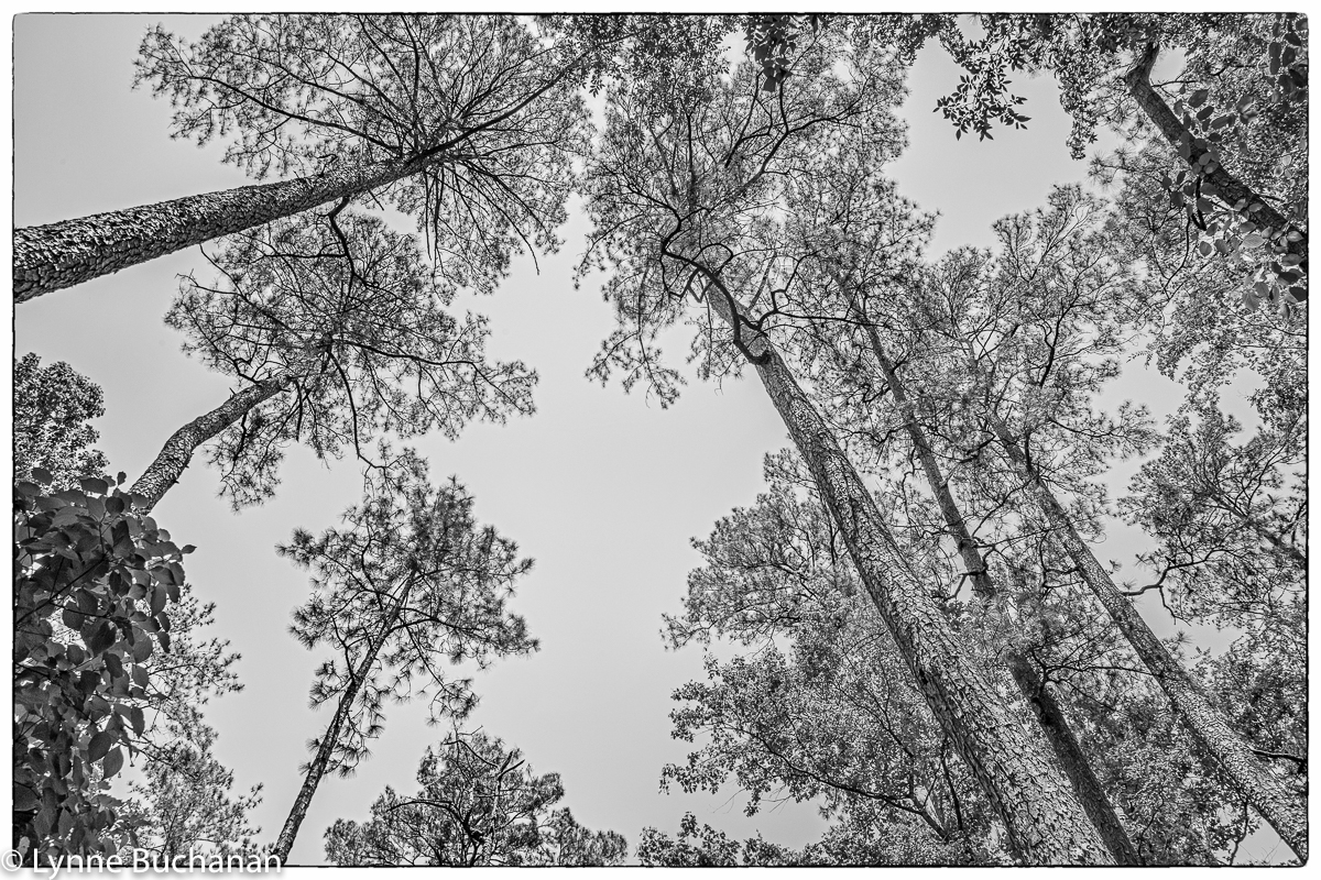 Moody Forest Old Growth Longleaf Pine Canopy