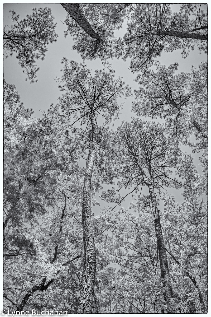 Moody Forest Vertical Old Growth Longleaf Pine Canopy