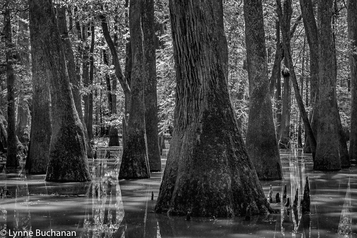 Moody Forest Tupelo-Cypress Geometry