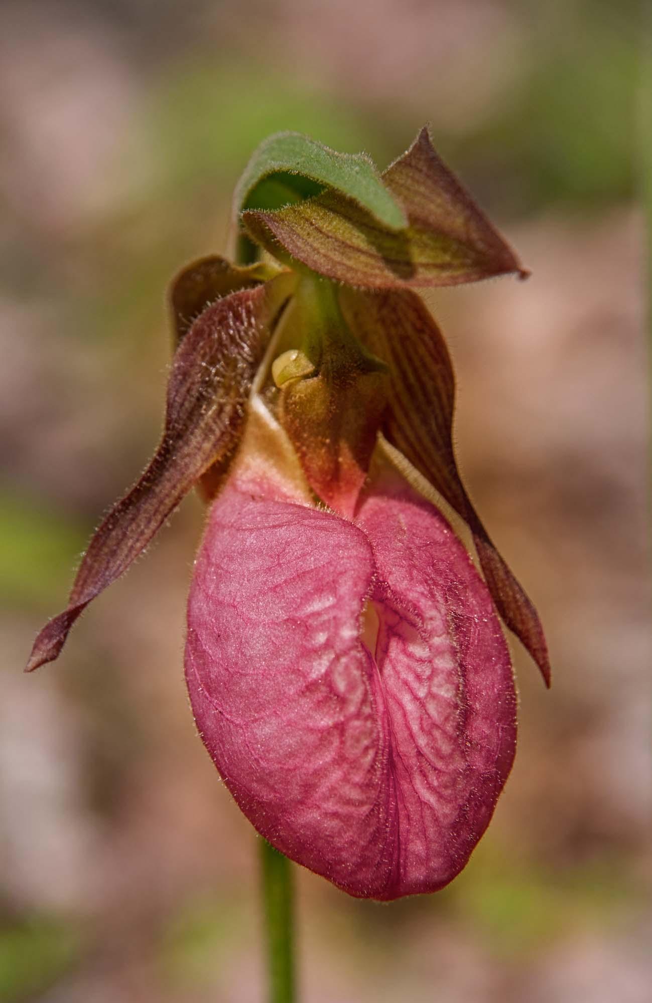 Pink Lady Slipper Flower