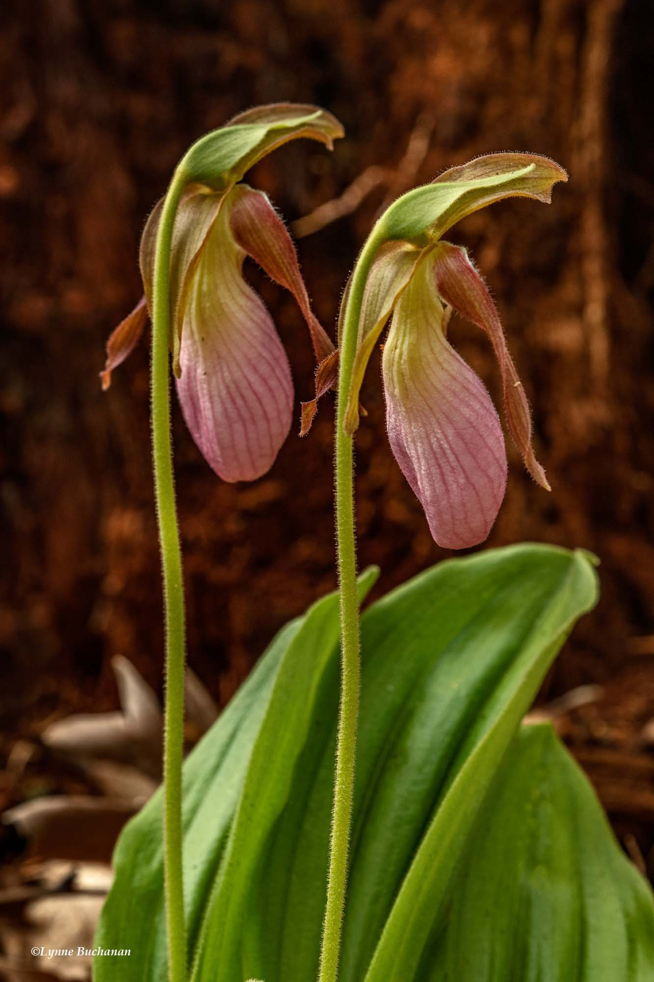 Pair of Lady Slippers Against a Stump