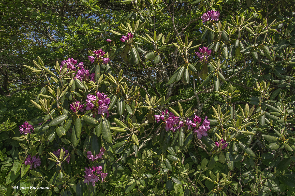 Cattawba Rhoddendrons by the Road.jpg