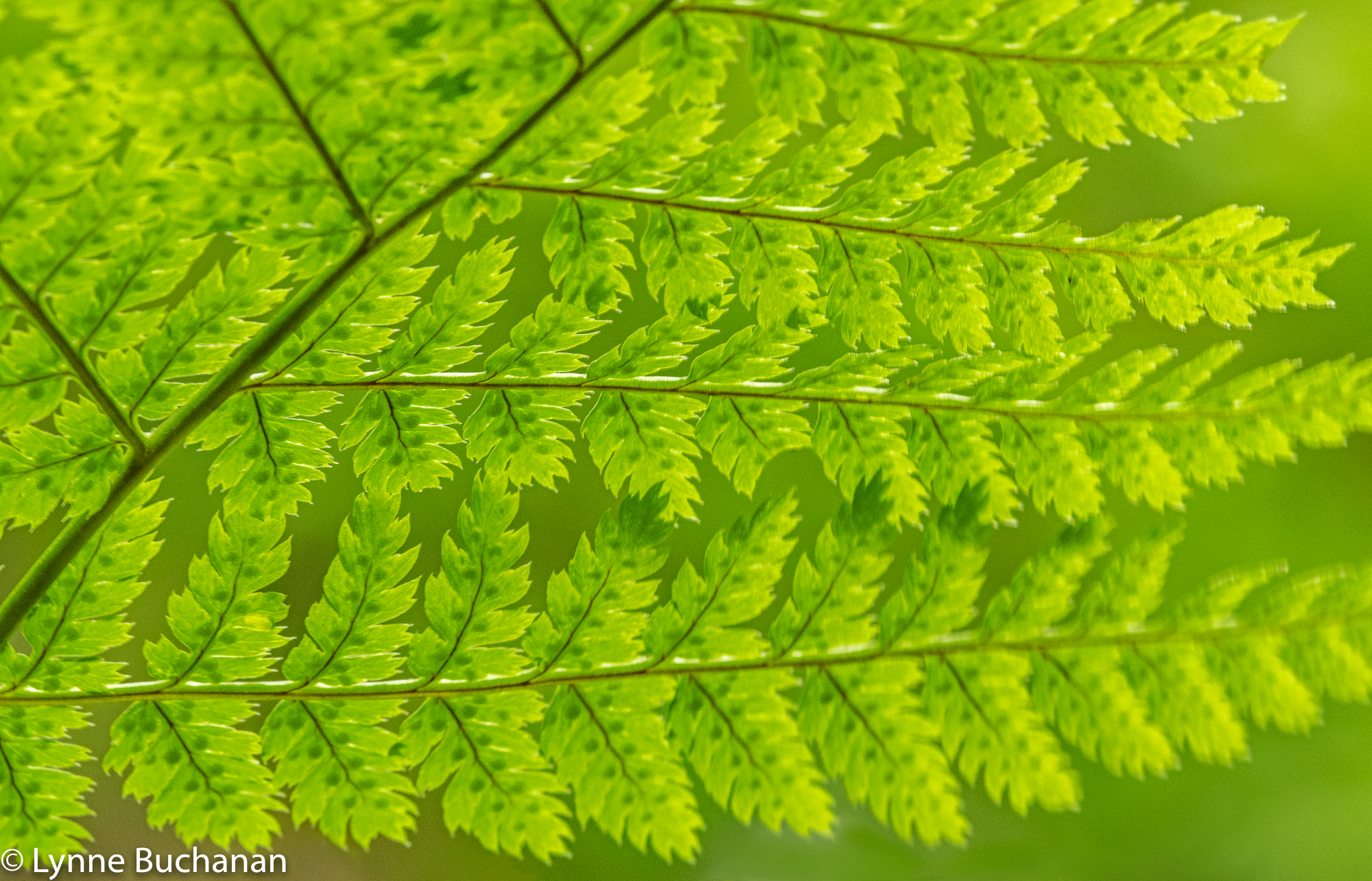 Underside of Fern with Kidney Shaped Seeds3194.jpg