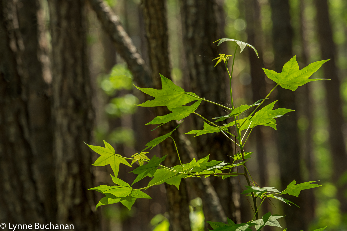 Moody Forest Dancing New Maple Leaves2404.jpg