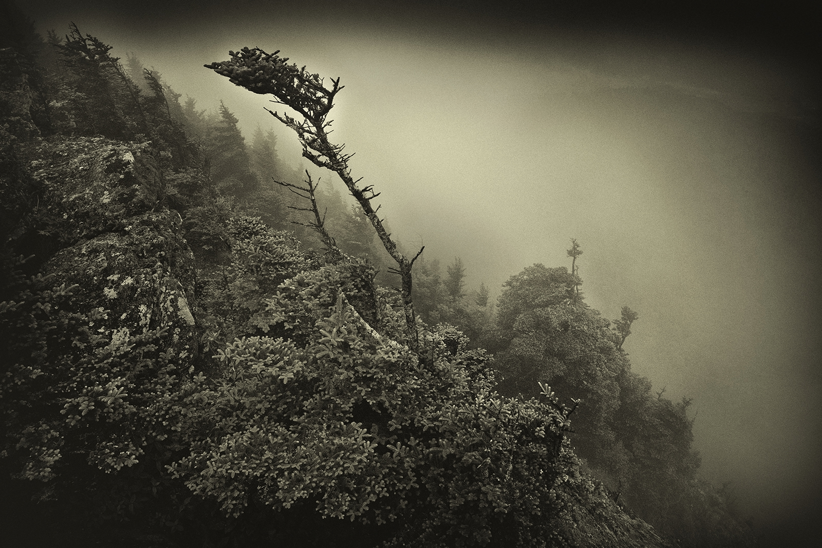 Roan Mountain Bent Tree in the Mist