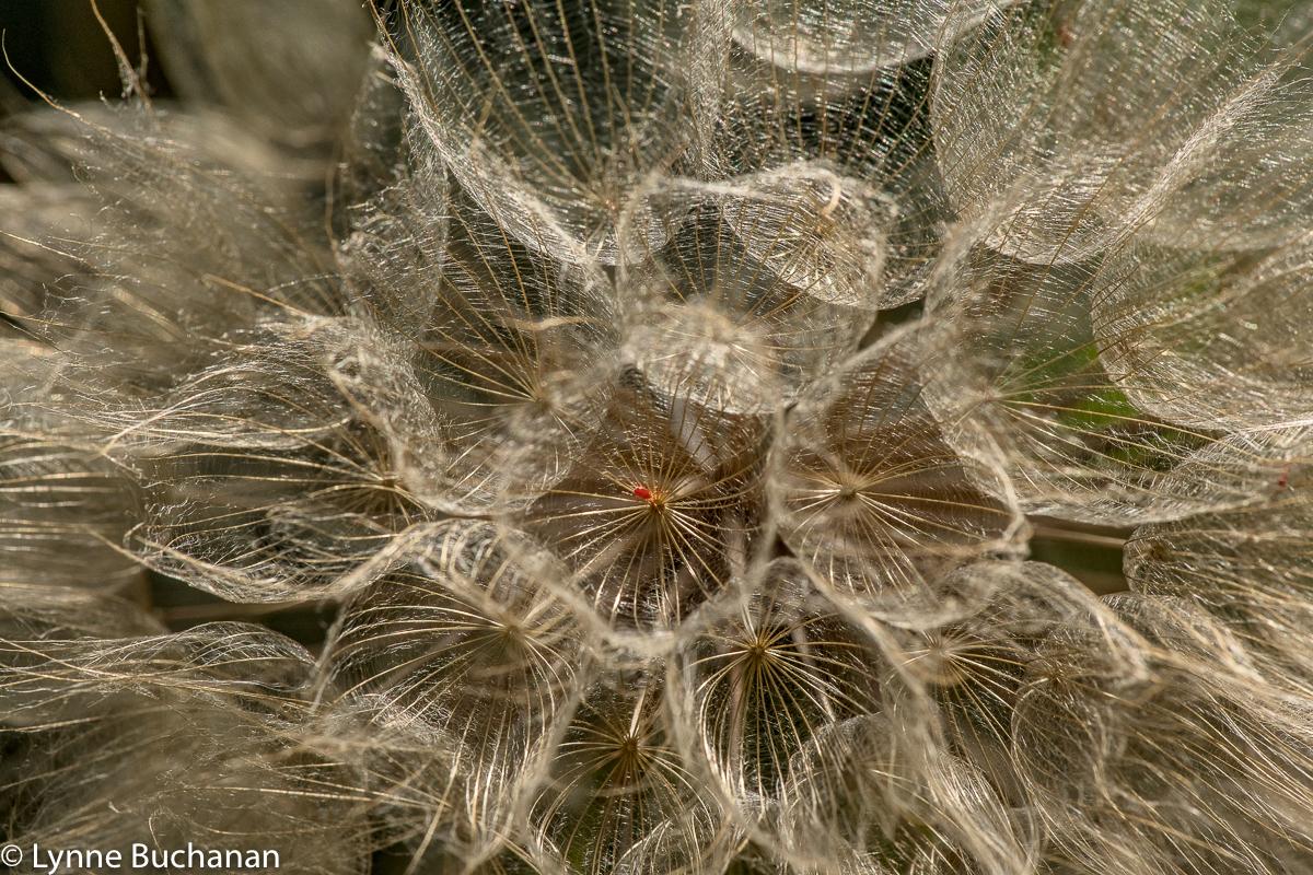 Dandelion Decomposition wiht Red Tic