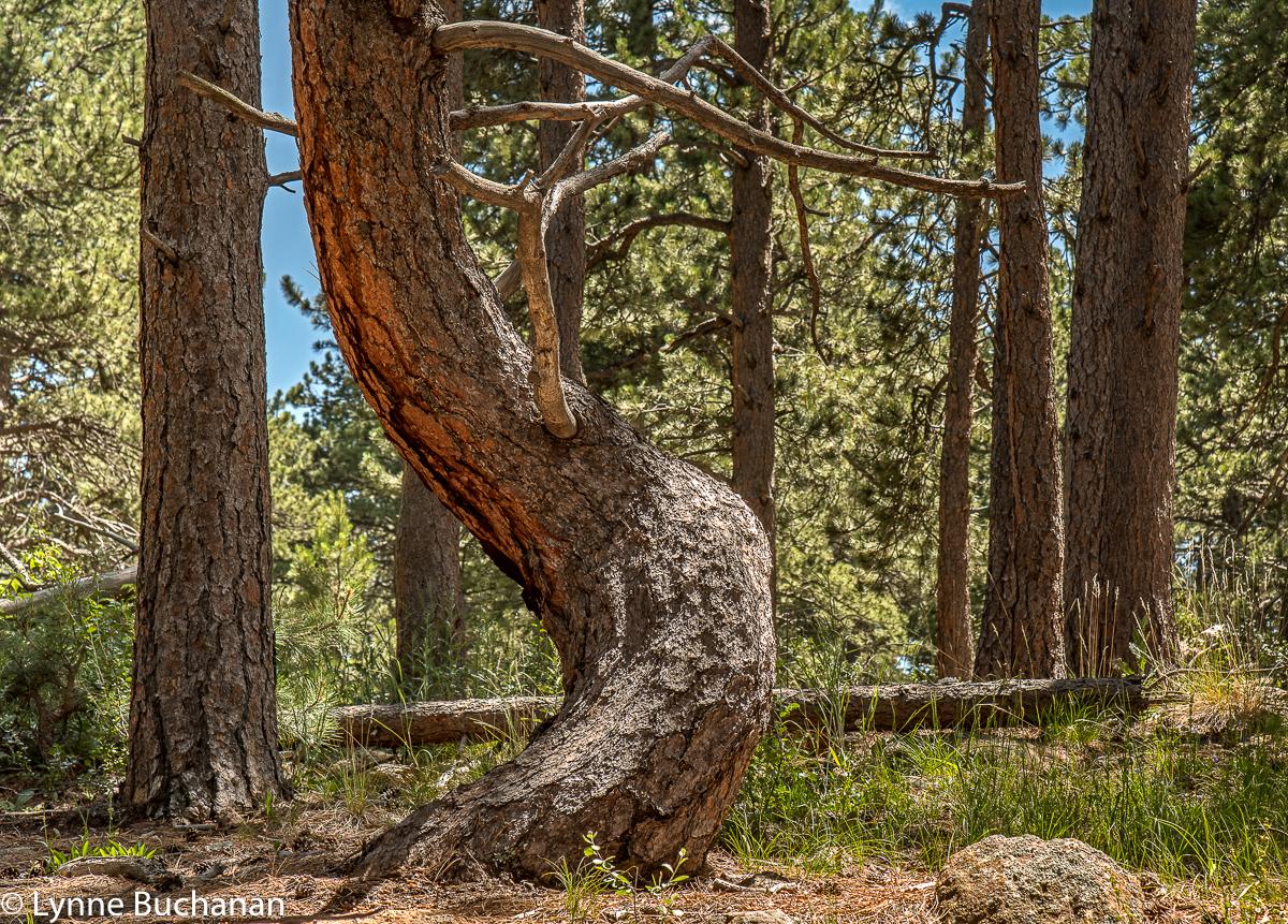 Eldorado Canyon Goshawk Trail Crooked Tree