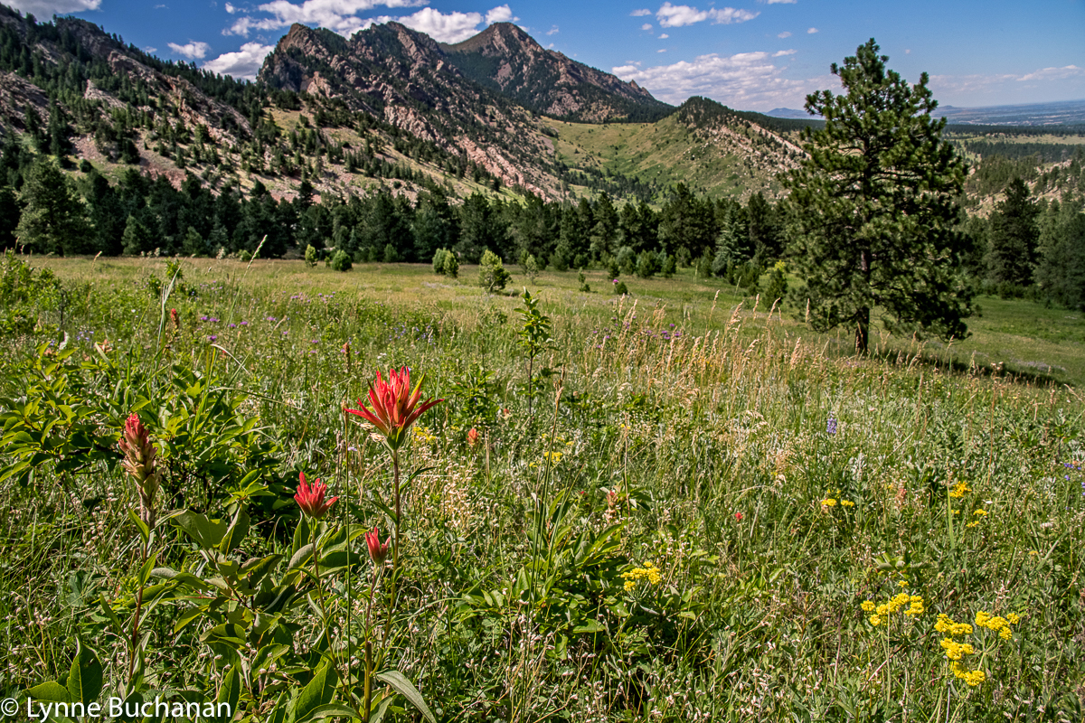 Eldorado Canyon Field with Indian Paintbrush and Wildflowers