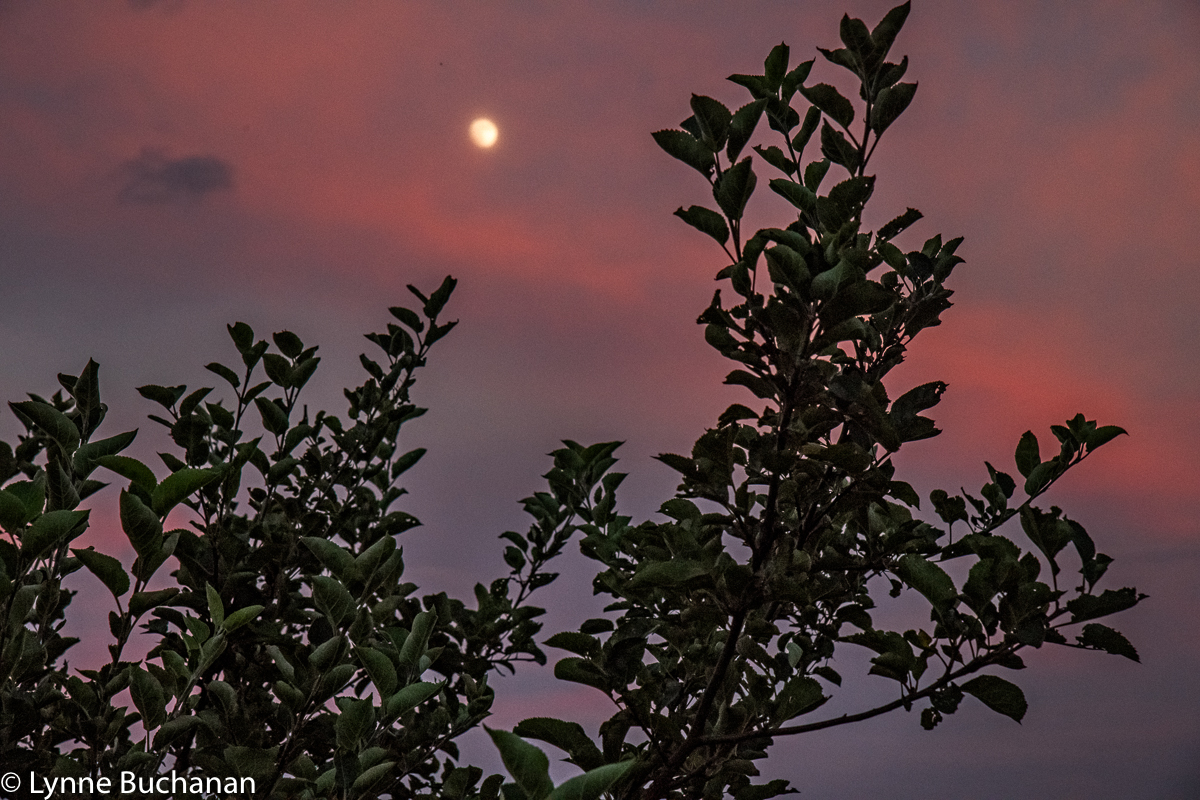 Full Moon through the Apple Tree Branches, the Historic Orchard at Altapass
