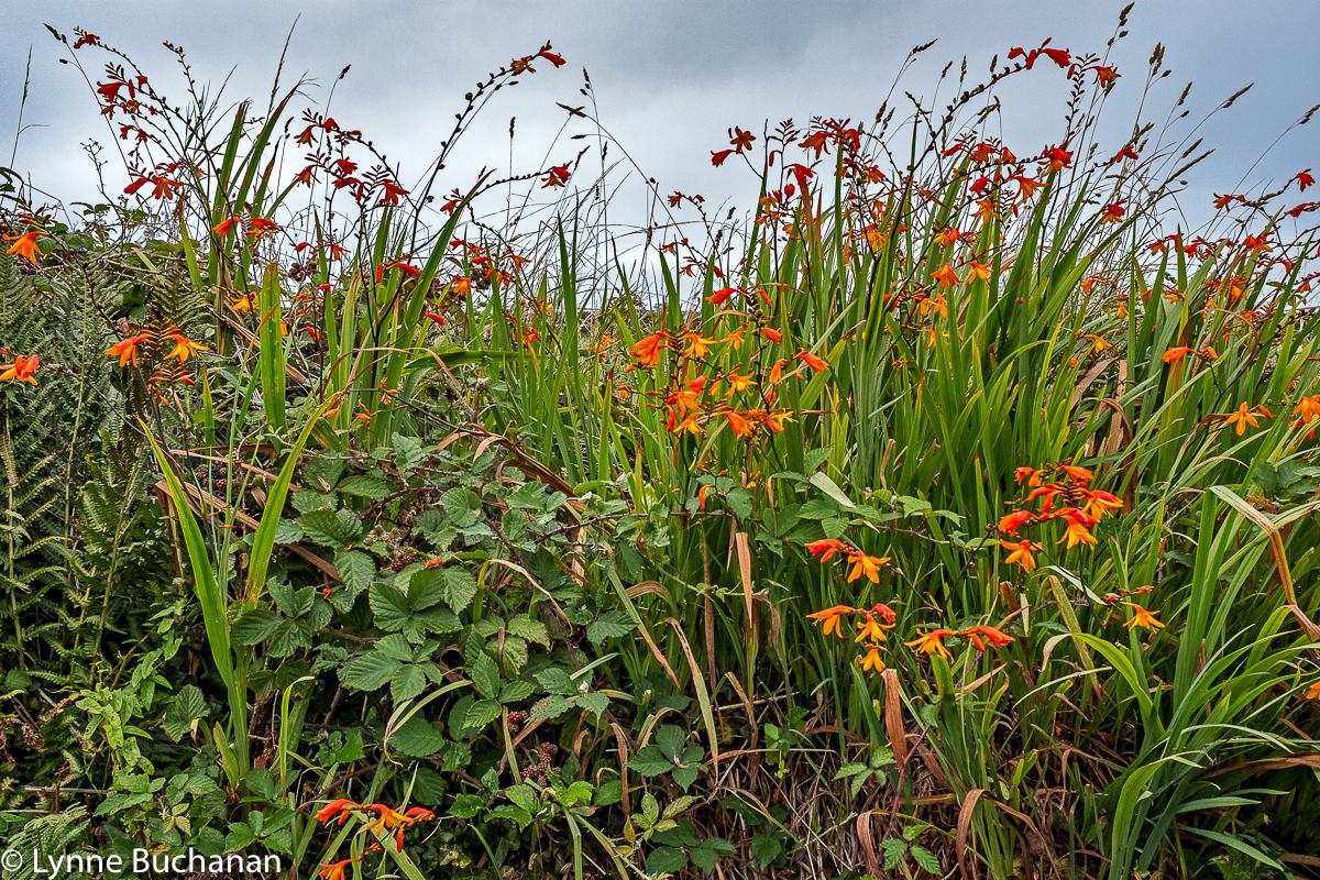 Wildflowers in Tintagel Hedgerows