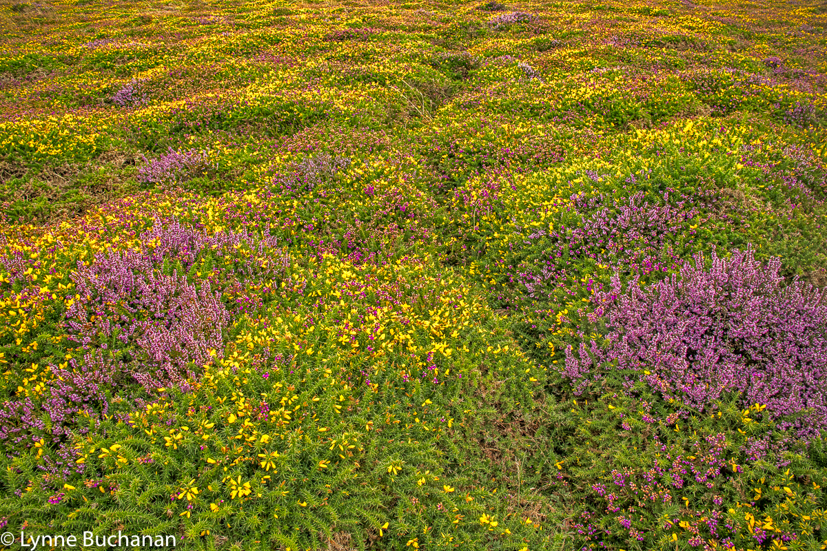 St. Agnes Head Heather and Gorse Patterns