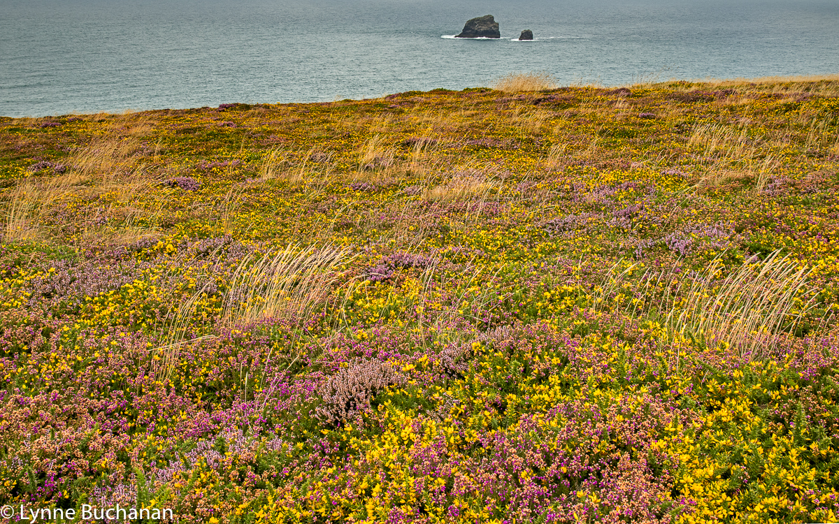St. Agnes Head Heather and Gorse and Small Sea Stacks
