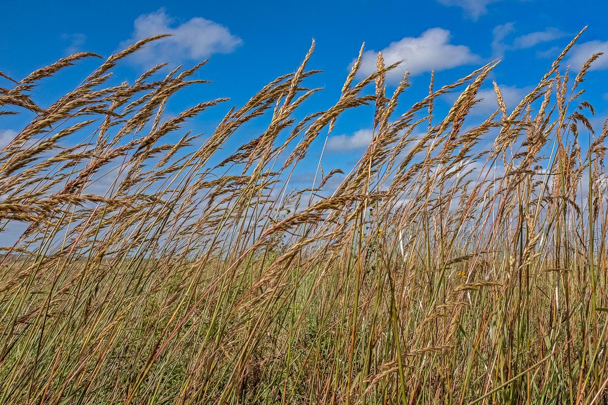 Golden Prairie Grass, Tall Grass Prairie National Preserve