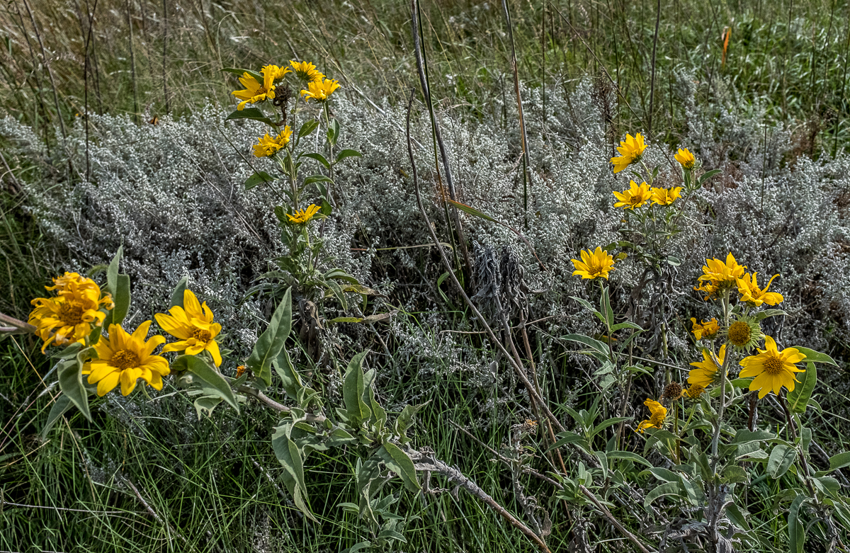 White Sage and Silphium