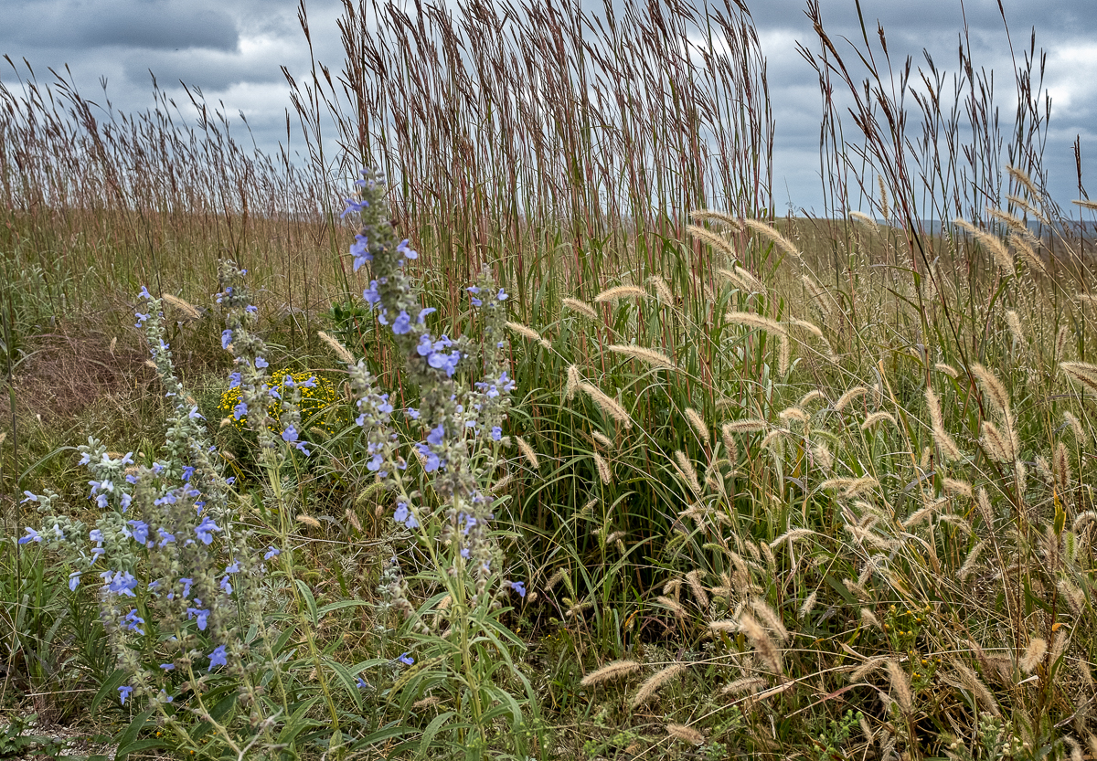 Blue Sage and Grasses
