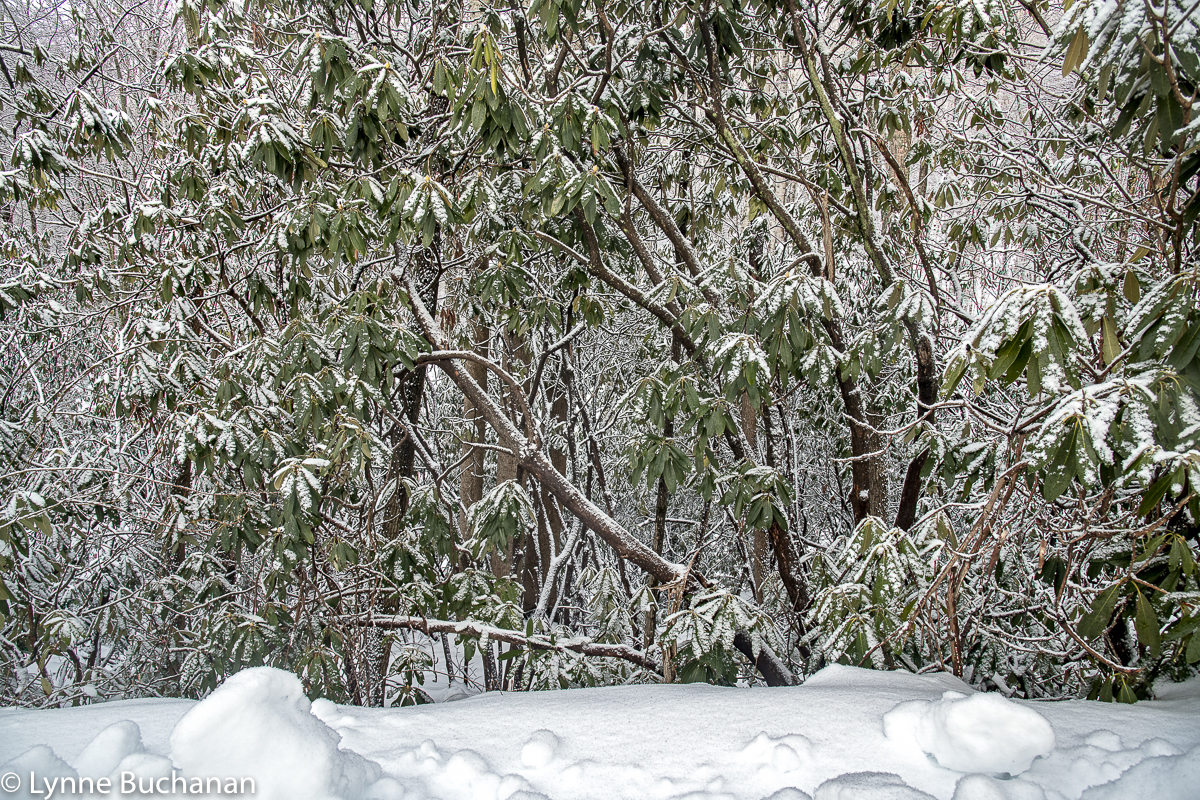Snow-Covered Rhododendrons