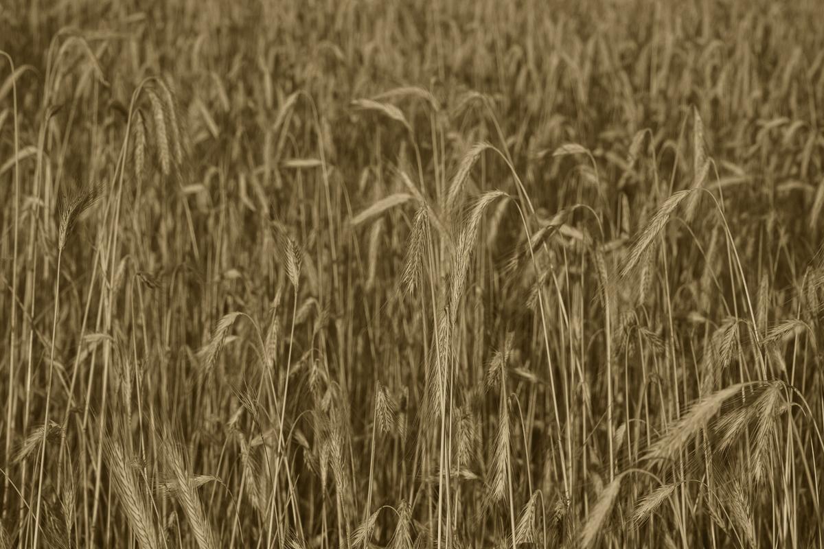 Rye Field, Suwalki
