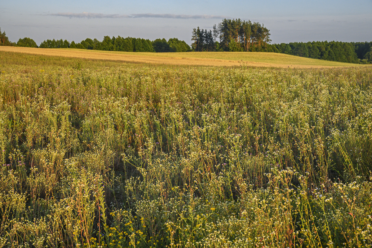 Field of Wildflowers, Suwalki