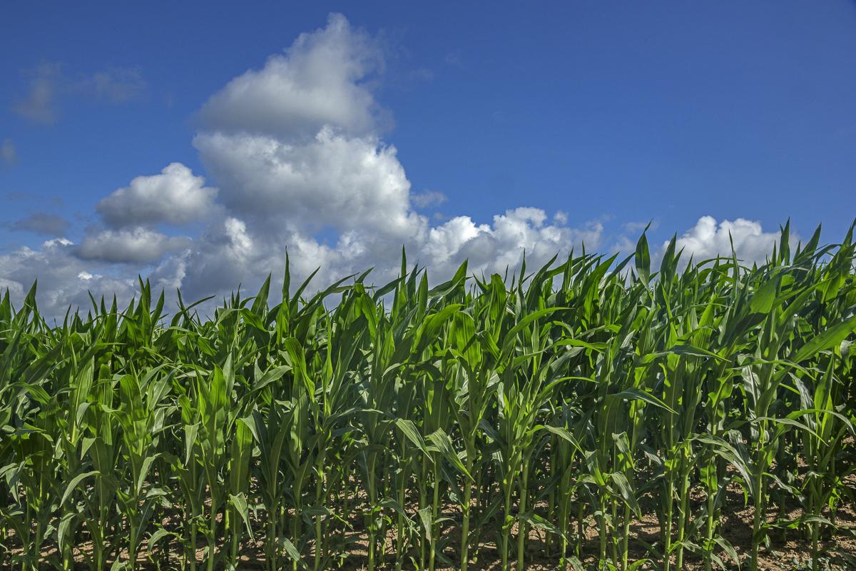 Polish Corn Field, Suwalki