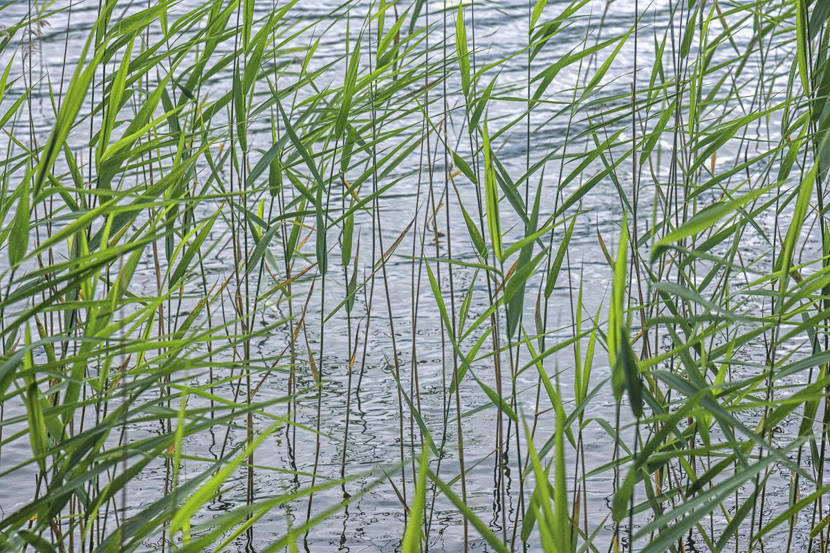Reeds, Wigry National Landscape Park