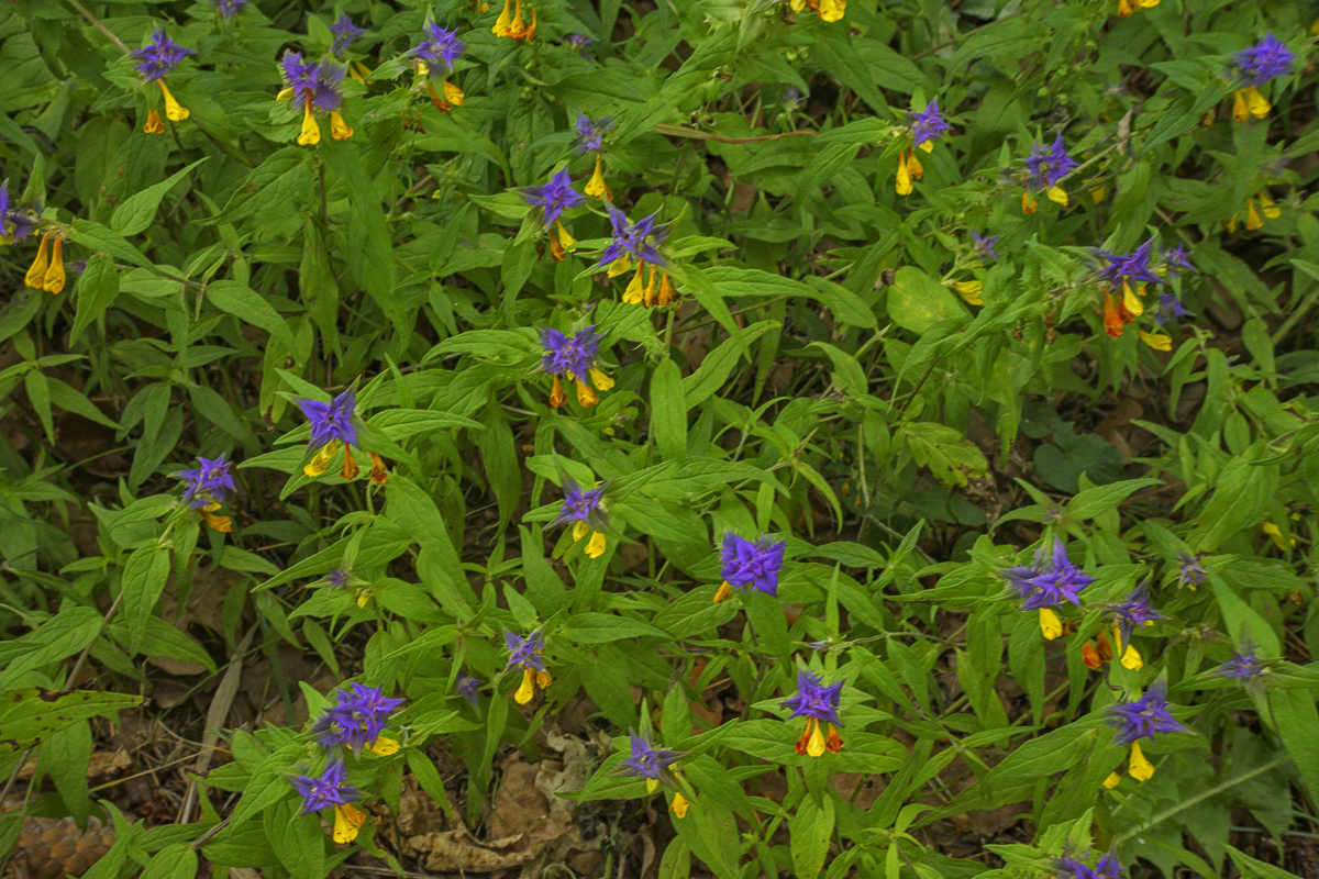 Melampyrum (Cow Wheat), Wigry National Park
