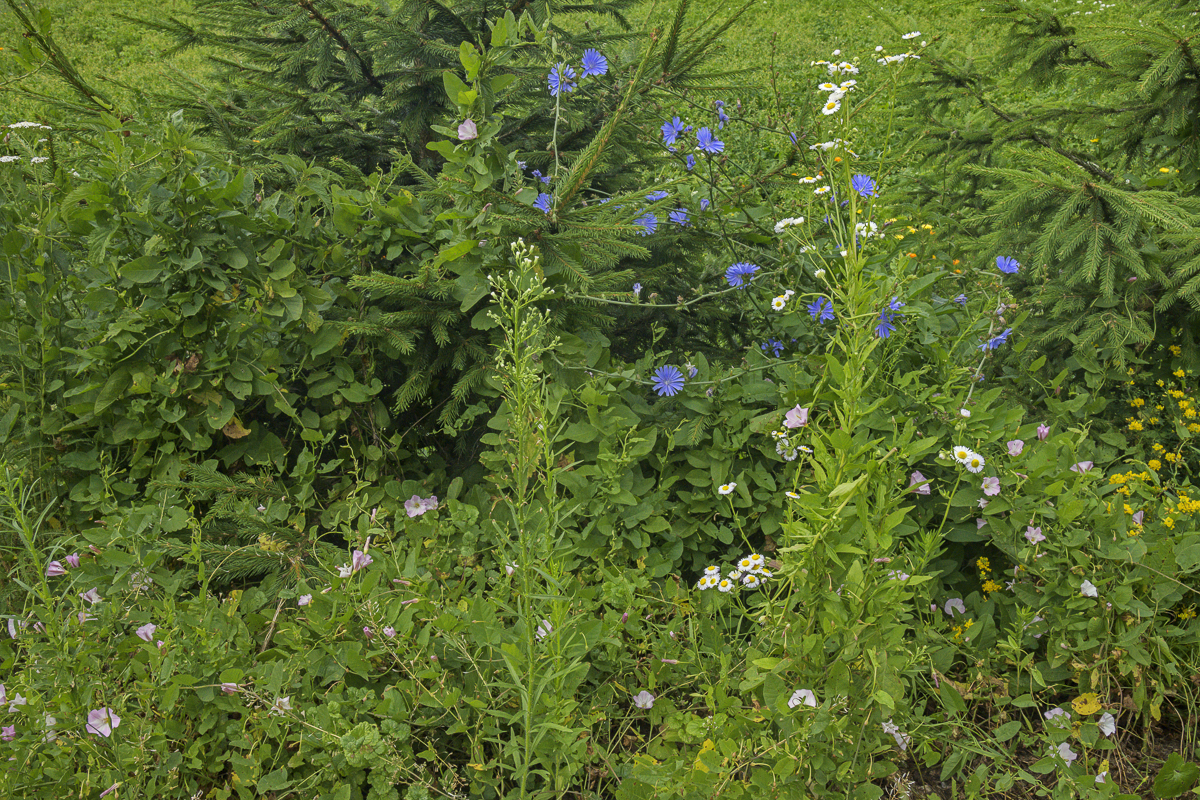 Wildflowers and Fir Trees at the Edge of a Field, Suwalki
