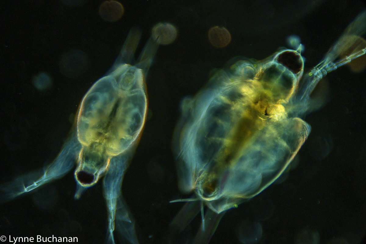 Swimming Cladoceran Pair