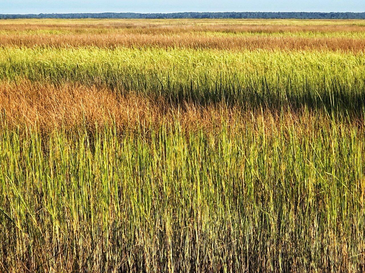 Grasses in the Salt Marsh
