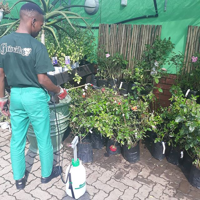 Beautiful roses at @Grovida being sprayed with Easygreen Cypercare. This amazig product will take care of all your bug problems, always keeping your roses happy and healthy.  What do you use to keep your plants happy and healthy?  #roses #plants #care #deliveringgrowth #love #sprays #wednesdaycare #cypercare #health