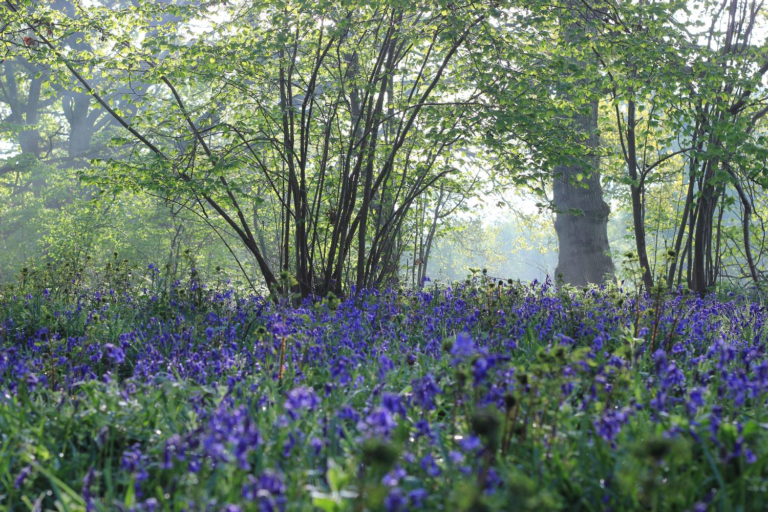 misty bluebells.jpg